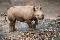 Młody czarny nosorożec łydki portret Zdjęcia Stock