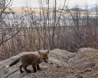 Młody czerwonego lisa szczeniak bada outside melinę Obraz Royalty Free