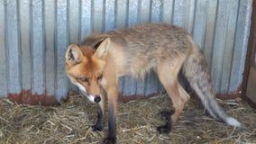 Młody czerwonego lisa ziewanie zbiory