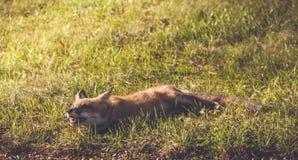 Młody Czerwony Fox robi śmiesznym twarzom Zdjęcia Stock