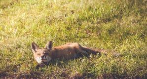 Młody Czerwony Fox robi śmiesznym twarzom Obrazy Royalty Free