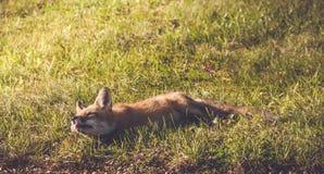 Młody Czerwony Fox robi śmiesznym twarzom Zdjęcie Stock