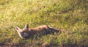 Młody Czerwony Fox robi śmiesznym twarzom Zdjęcia Royalty Free