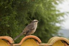 Młody czerwony ovenbird patrzeje strona na dachowej płytce obraz stock