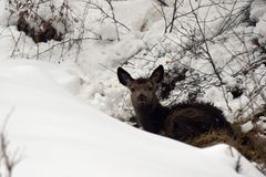 Młody czerwony rogacz w śniegu Obrazy Royalty Free