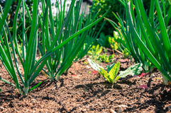 Młody czosnku i sałaty ogrodowy zbliżenie Zdjęcie Stock