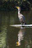 Młody Czubaty kormoran zdjęcie royalty free