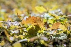 Młody dębowy drzewo w dębowej pepinierze Obrazy Stock