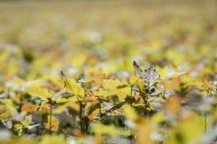 Młody dębowy drzewo w dębowej pepinierze Zdjęcie Royalty Free