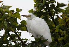 Młody dorosły Wielki Egret Cababysmerodius albus Zdjęcie Royalty Free