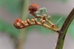 Młody drzewnej paproci liść zdjęcie stock