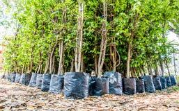 młody drzewnej pepiniery czekanie dla rośliny Fotografia Royalty Free