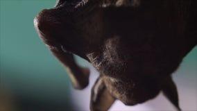 Młody dziecko nietoperz przylega na gałązce do góry nogami zbiory wideo