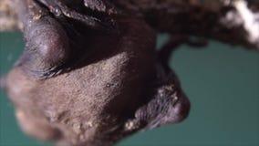 Młody dziecko nietoperz przylega na gałązce do góry nogami zbiory