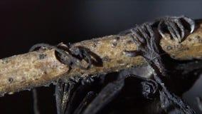 Młody dziecko nietoperz przylega na gałązce do góry nogami zdjęcie wideo