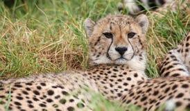 Młody dziki geparda kot z pięknym łaciastym futerkiem Zdjęcia Stock