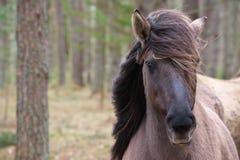 Młody dziki koń z swój grzywy dmuchaniem w wiatrze obraz royalty free