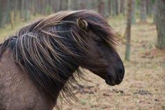 Młody dziki koń z swój grzywy dmuchaniem w wiatrze obrazy stock