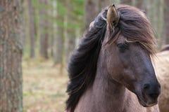 Młody dziki koń z swój grzywy dmuchaniem w wiatrze obraz stock