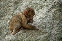 Młody ekspresyjny makak na skale w lesie zdjęcie stock