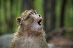 Młody ekspresyjny makak w lesie zdjęcie stock