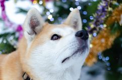 Młody energiczny Akita pies dla spaceru Chodzić outdoors w zimie obrazy stock
