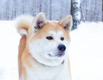 Młody energiczny Akita pies dla spaceru Chodzić outdoors w zimie zdjęcie royalty free