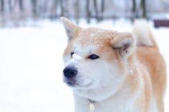 Młody energiczny Akita pies dla spaceru Chodzić outdoors w zimie zdjęcia royalty free