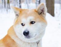 Młody energiczny Akita pies dla spaceru Chodzić outdoors w zimie Psa i dziecka interakcja obraz royalty free