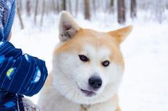 Młody energiczny Akita pies dla spaceru Chodzić outdoors w zimie Psa i dziecka interakcja obrazy stock