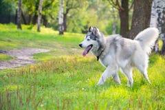 Młody energiczny pies na spacerze krzepki siberian obrazy royalty free