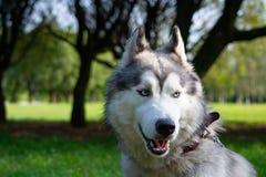 Młody energiczny pies na spacerze krzepki siberian obrazy stock