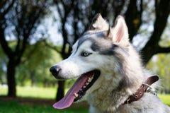 Młody energiczny pies na spacerze krzepki siberian fotografia stock