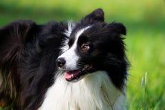 Młody energiczny pies na spacerze Rabatowy Collie obrazy royalty free