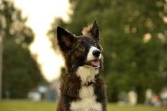 Młody energiczny pies na spacerze Szczeniak edukacja, kynologia, intensywny szkolenie młodzi psy jest chodzenie natury zdjęcie stock