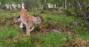 Młody europejski rysia odprowadzenie w lesie lato wieczór zdjęcie wideo