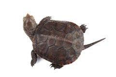 Młody Europejski stawowy żółw odizolowywający na bielu Fotografia Royalty Free