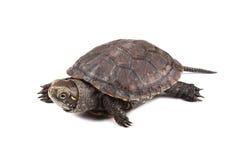 Młody Europejski stawowy żółw odizolowywający na bielu Zdjęcia Royalty Free