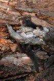 Młody Fisher Wiesza Dalej (Martes pennanti) Fotografia Stock