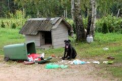 Młody głupi psi trzciny corso bawić się z śmieciarskim zbiornikiem fotografia royalty free