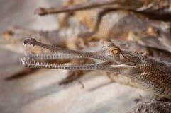 Młody gawial w crocodile's pepinierze Obraz Royalty Free