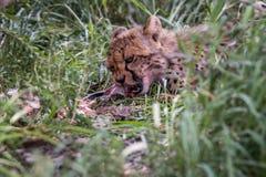 Młody geparda łasowanie Obrazy Stock