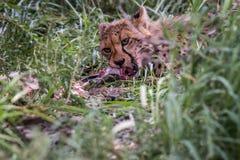Młody geparda łasowanie Fotografia Royalty Free