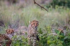 Młody geparda lisiątka odprowadzenie w kierunku kamery obraz stock