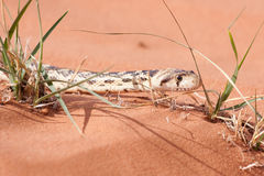 Młody gopher wąż między traw ostrzami na czerwonym piasku Obrazy Stock