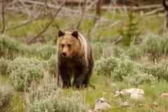 Młody grizzly niedźwiedź w Yellowstone parku narodowym, Wyoming zdjęcia stock