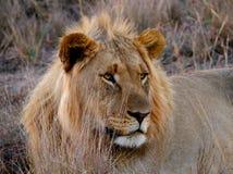 Młody Grzywiasty Męski lew Zdjęcia Royalty Free