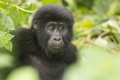 Młody Halny goryl w lesie obrazy stock