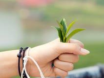Młody herbaciany liść na ręce Fotografia Stock