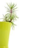 Houseplant dorośnięcie w flowerpot Fotografia Royalty Free